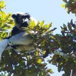 Un lémurien indri-Indri