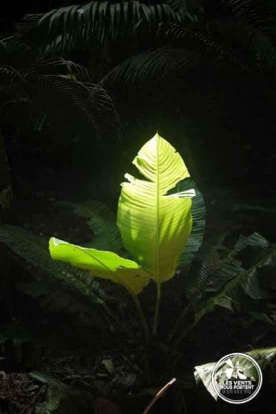 Palme dans la jungle du Darien à Capurgana en Colombie
