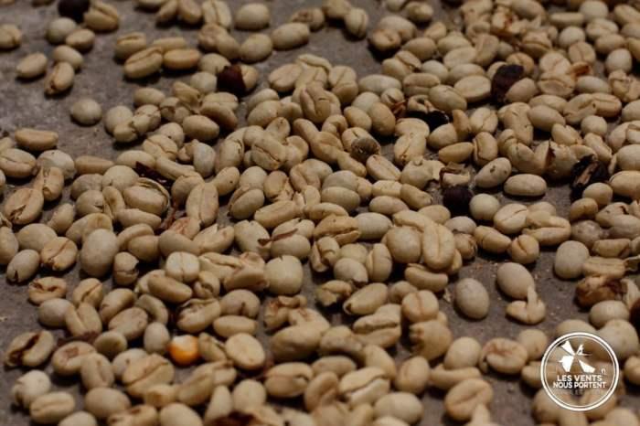 Café fraichement récolté