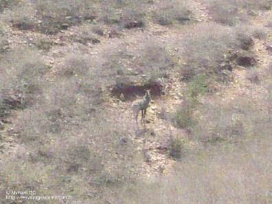 Antilope Nilgaut, j'ai eu de la chance de les apercevoir!