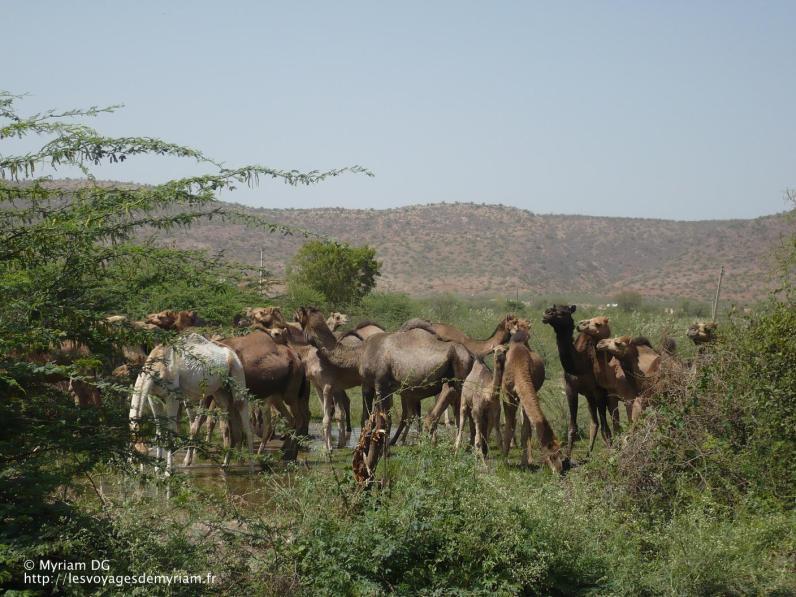 Troupeau de chameaux comme on a des troupeaux de vache!