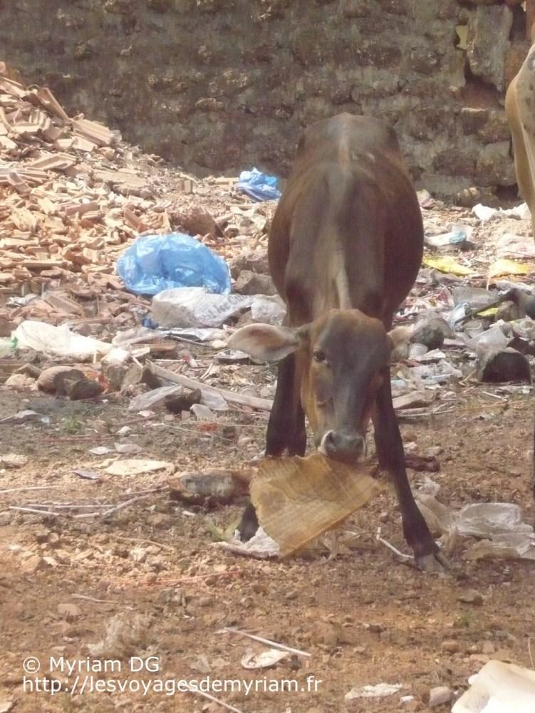 Les petits veaux mangent tout ce qu'ils trouvent..