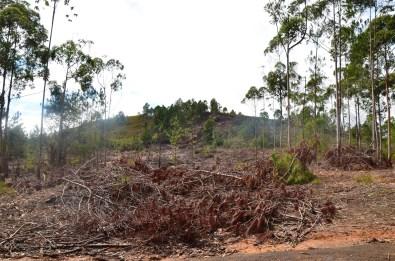 les arbres abattus, en plus ils font ça comme des saguoins