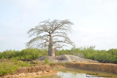 Au pied du baobab, des coquille d'huitre!