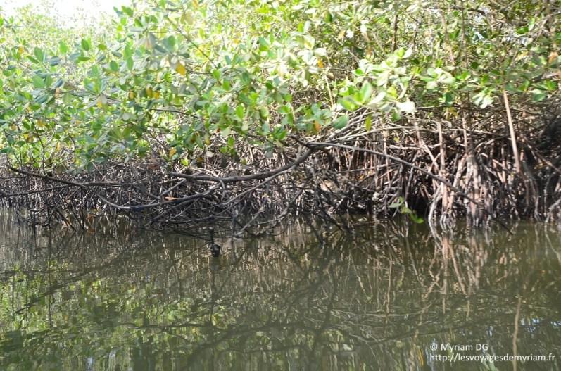 La mangrove est composé de Palétuvier