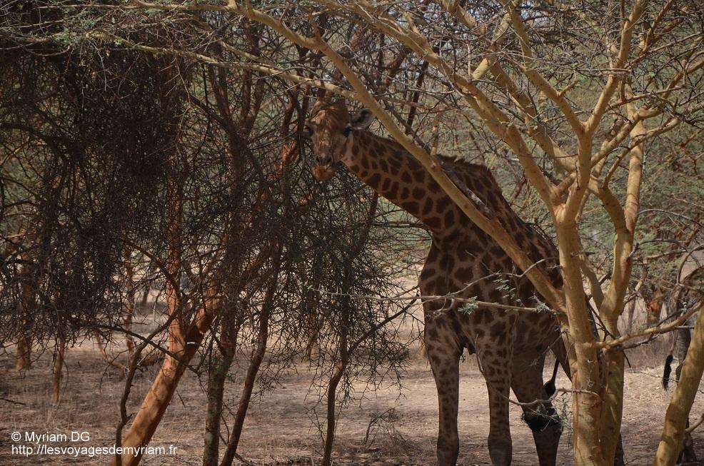 Monsieur le Mâle dominant. Plus gros et plus grand que les autres girafes.