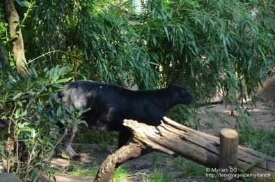 La panthère noire: on peux voir ses taches