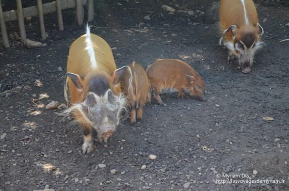 Le ptit cochon avec ses oreilles poilus trop drôle!