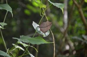 Si si, c'est un papillon. Jaune même!! Mais lorsqu'il se pose, on dirait une feuille!!