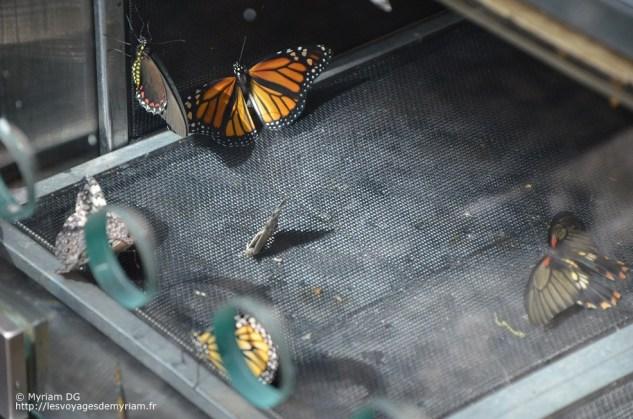 Eclosoir à papillons