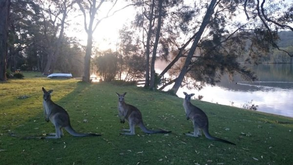 Kangourous curieux au matin - Australie