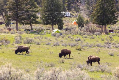Bisons au Mammoth Hot Springs Campground - Yellowstone NP