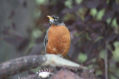 Oiseau du Montana