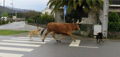 Une vache dans les rues de Soajo