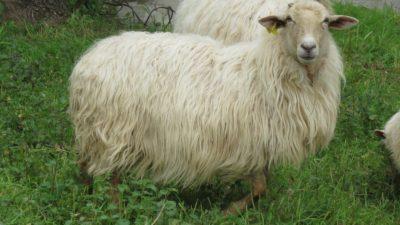 mouton très chevelu