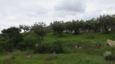 Les oliviers entre Vinhais et Bragança