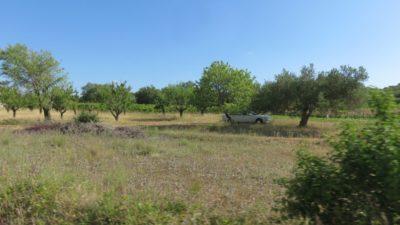 Oliviers et vignes sur la route près de Skradin - Croatie