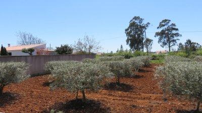 Des champs d'oliviers