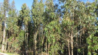 Forêts d'eucalyptus