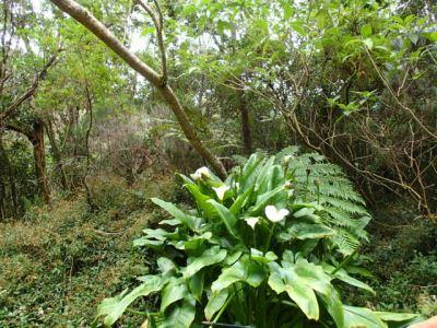 Plantes sauvages au Trou de Fer (Réunion)