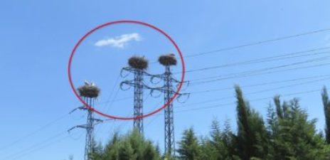 Des nids de cigognes sur les pylônes électriques