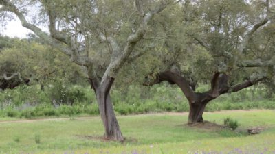 Chênes-liège