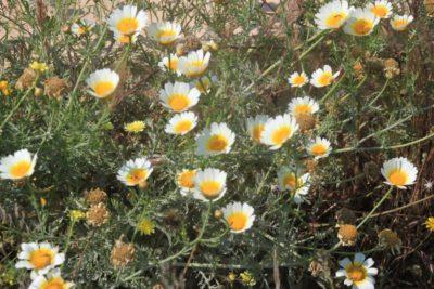 Marguerites sauvages