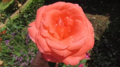 Les fleurs des jardins de l'Alcazar des rois catholiques de Cordoue