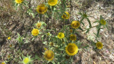Fleurs sauvages sur la route des Alpujarras entre Grenade et Almeria