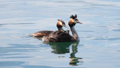 Canards huppés sur le lac d'Iseo