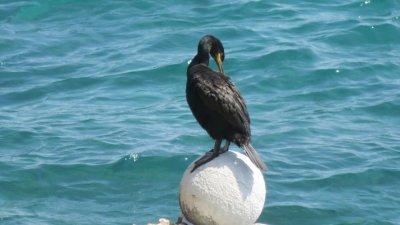 Un cormoran sur la plage de Rabac