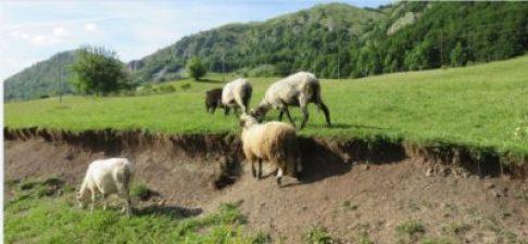 Moutons sur le plateau du parc du Durmitor - Monténégro
