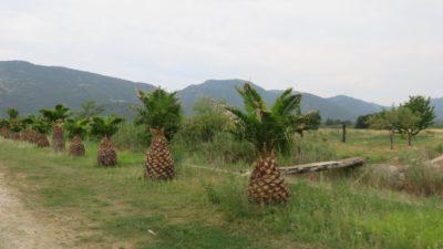 Des palmiers sur la presqu'île de Peljesac - Croatie