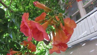 Fleurs à Budva - Monténégro