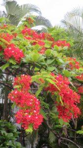 Un flamboyant à St Denis (Réunion)