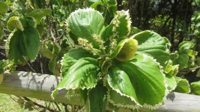 Plante tropicale (Réunion)