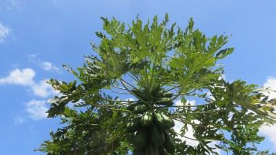 Des papayes (Réunion)