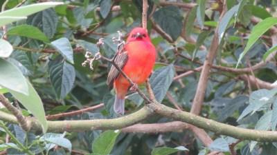 Magnifique cardinal au Grand Etang (Réunion)