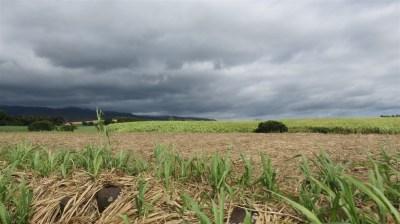 Champs de canne à sucre - Réunion