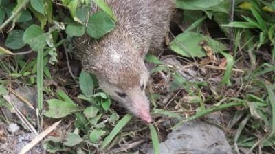 Un tangue - hérisson de la Réunion