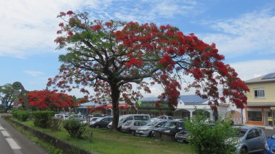 Flamboyant - Bras Panon (Réunion)