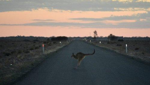 Kangourou sur la route la nuit - Australie