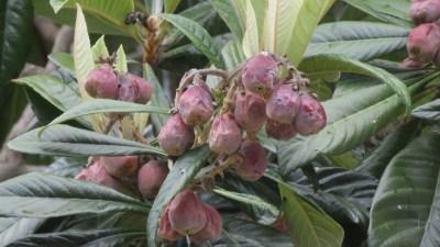 Arbre fruitier - Cilaos