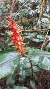 Fleur sauvage - Cilaos