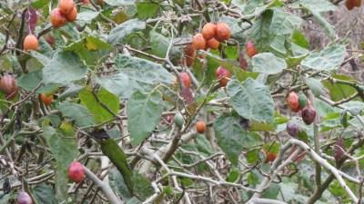 Tomates arbuste au gite les Géraniums - Réunion