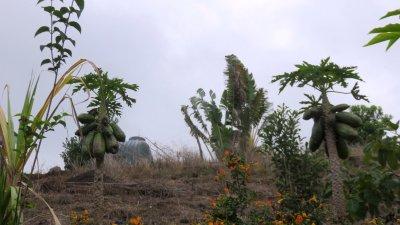 Papayers - Réunion