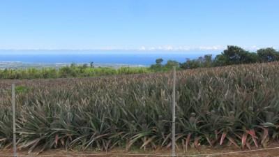 Champs d'ananas - Réunion