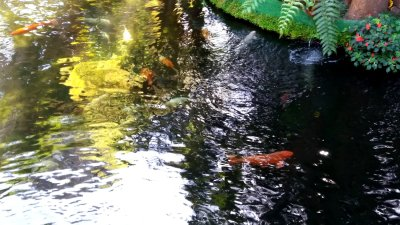 Carpes koï du jardin tropical Monte Palace - Funchal (Madère)
