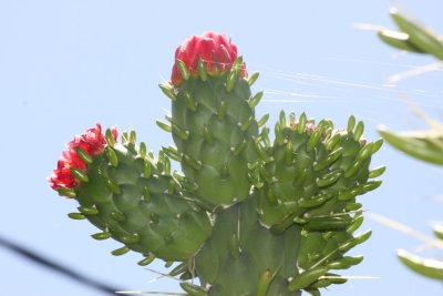 Cactus du jardin botanique de Funchal - Madère