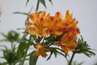 fleurs à Ponta Delgada - Madère